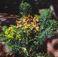 Invasive Weed Cypress Spurge