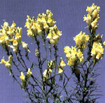 Invasive Weed Yellow Toadflax